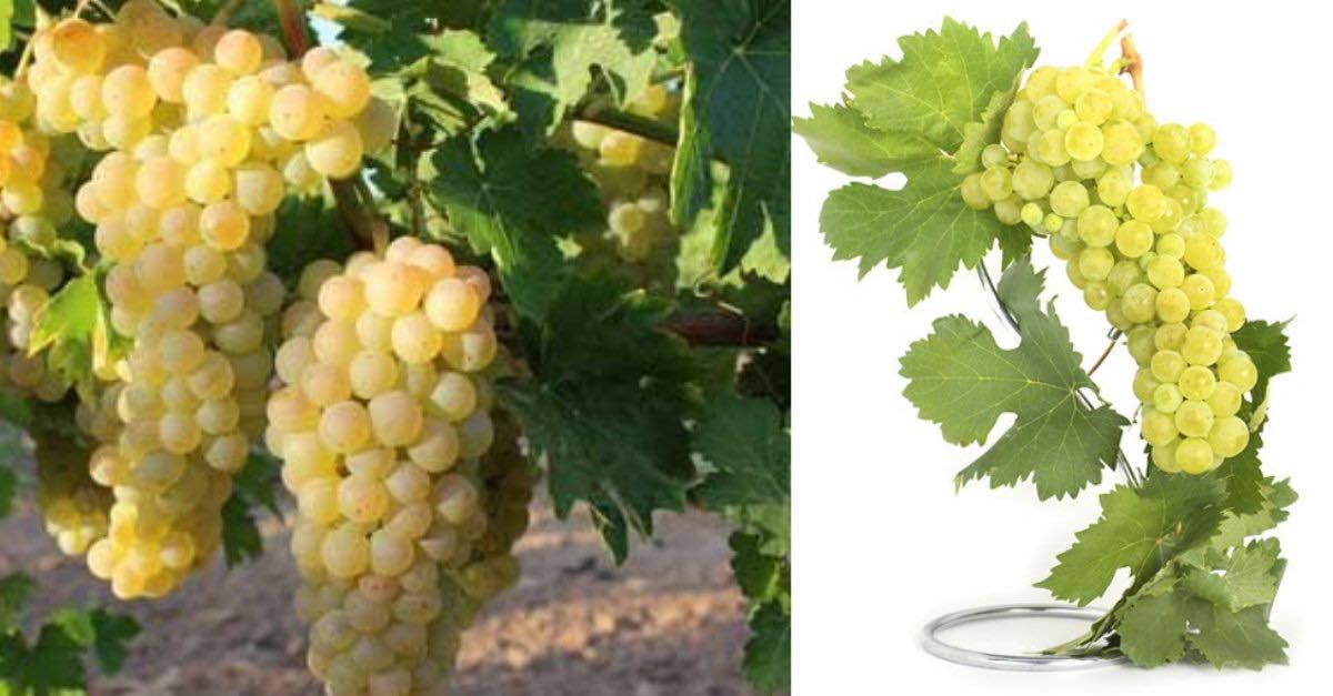 La Albillo en vinos blancos, un tesoro muy español