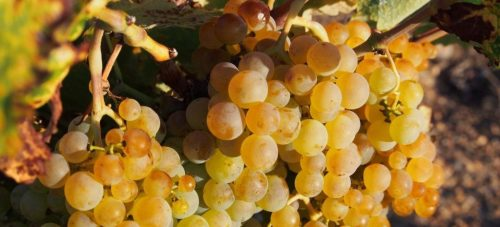 variedad de uva Godello